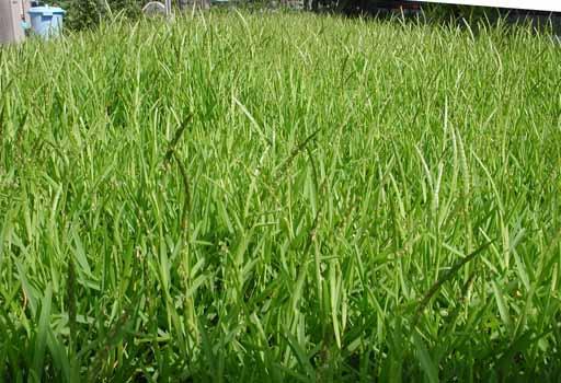 090812芝刈り前.jpg
