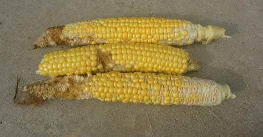 140824トウモロコシ収穫3.jpg