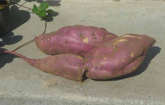140923サツマイモ収穫.jpg