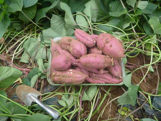 141004サツマイモ収穫.jpg
