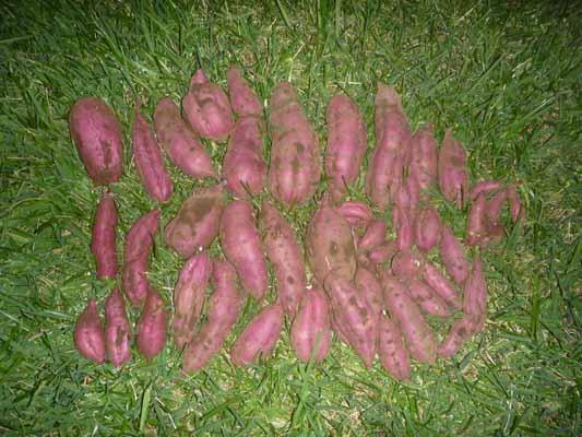 141011サツマイモ収穫.jpg
