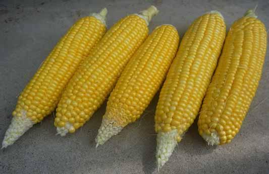 140722トウモロコシ収穫.jpg